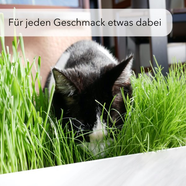 3-Sorten-Katzengras-6-Beutel-50-Toepfe-Bio-oeko