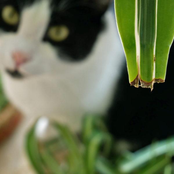 Zimmerpflanze Schutz Katzengras